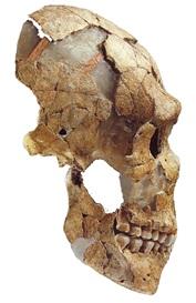 Figure 6: The Saint Cesaire Neandertal