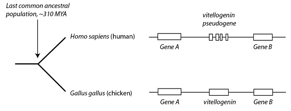Diagram: Common ancestry with chickens