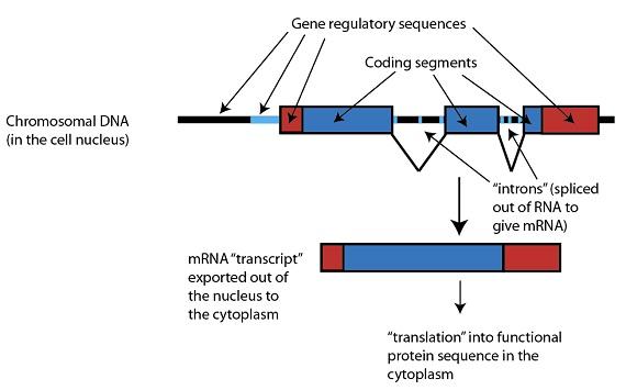 Figure 4: Junk DNA
