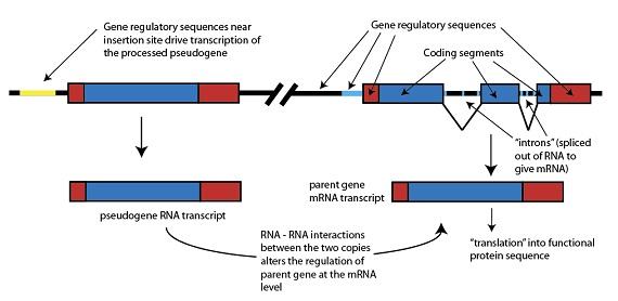 Diagram 6: Junk DNA