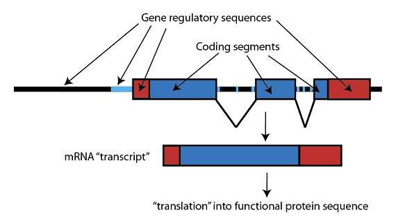 Figure 2: Junk DNA