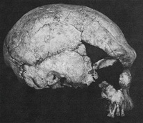 Figure 4: Laetoli Hominid 18 (From Magori and Day, 1983)