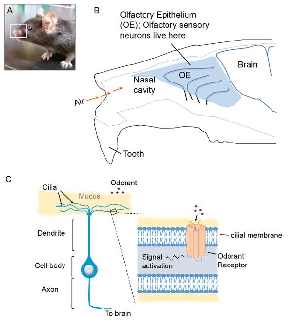 Mouse Nasal anatomy