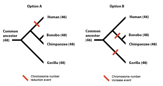 Denisovans, Humans and the Chromosome 2 Fusion - Articles - BioLogos