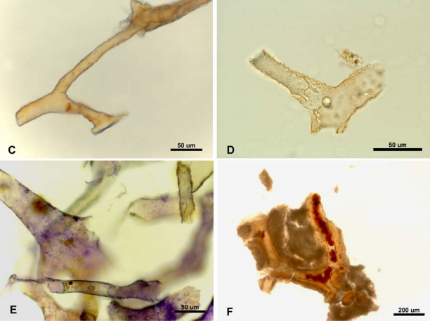 Soft Tissue in Dinosaur Bones: What Does the Evidence