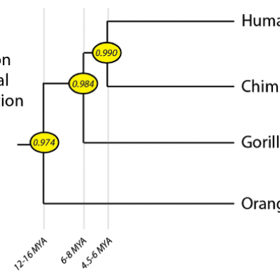 Evolution Basics: From Primate to Human - Articles - BioLogos