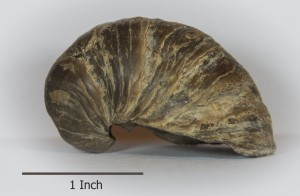 The Gryphaea fossil