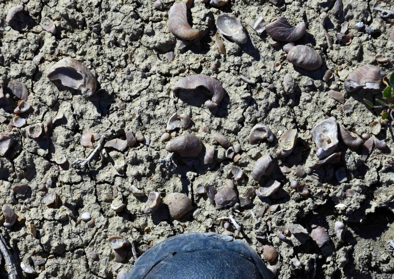 On the side of Sheep Mountain just north of Greybull, Wyoming, there were areas where you cannot walk without stepping on dozens of pieces of fossilized Gryphaea nebrascensis. Here I am looking down at what is just in front of my boot.