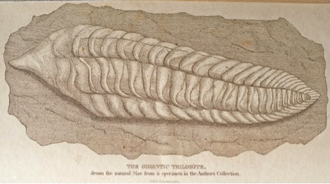 the gigantic trilobite