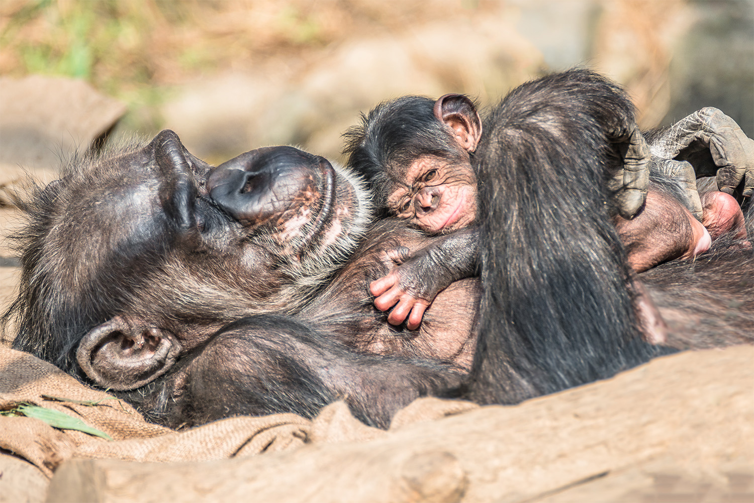 Chimpanzee and her baby