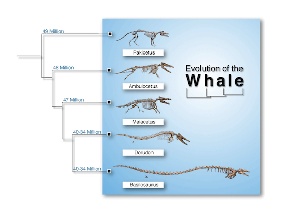 Diagram: Whale evolution