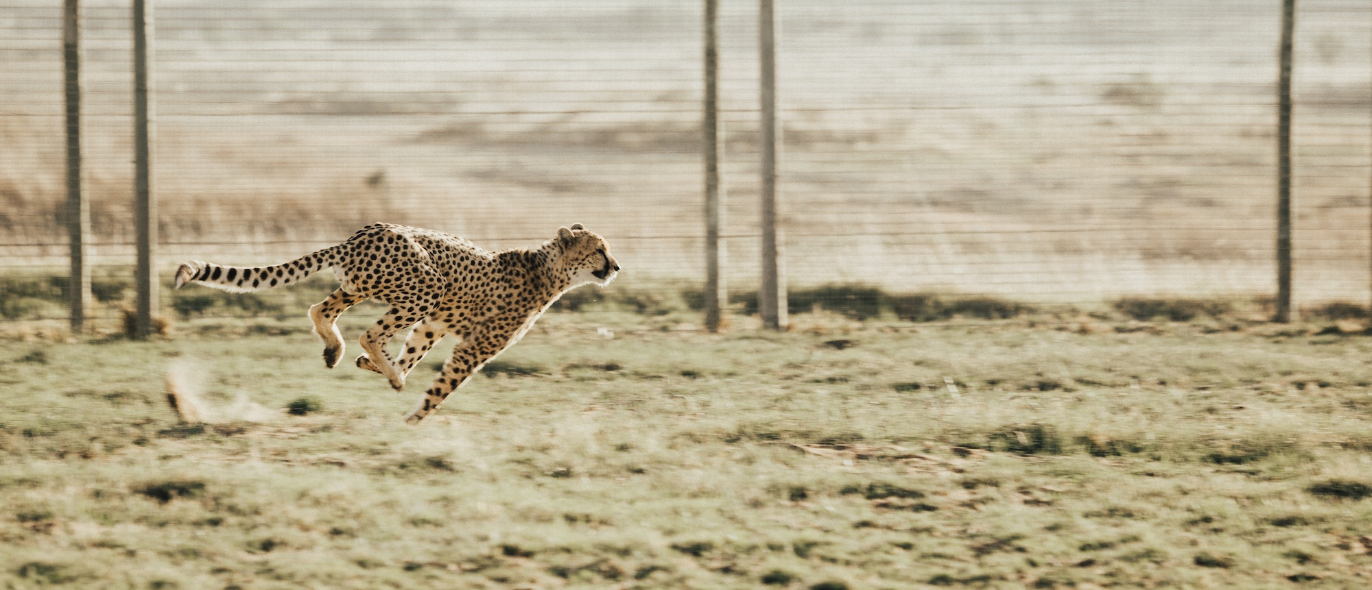 running cheetah across field