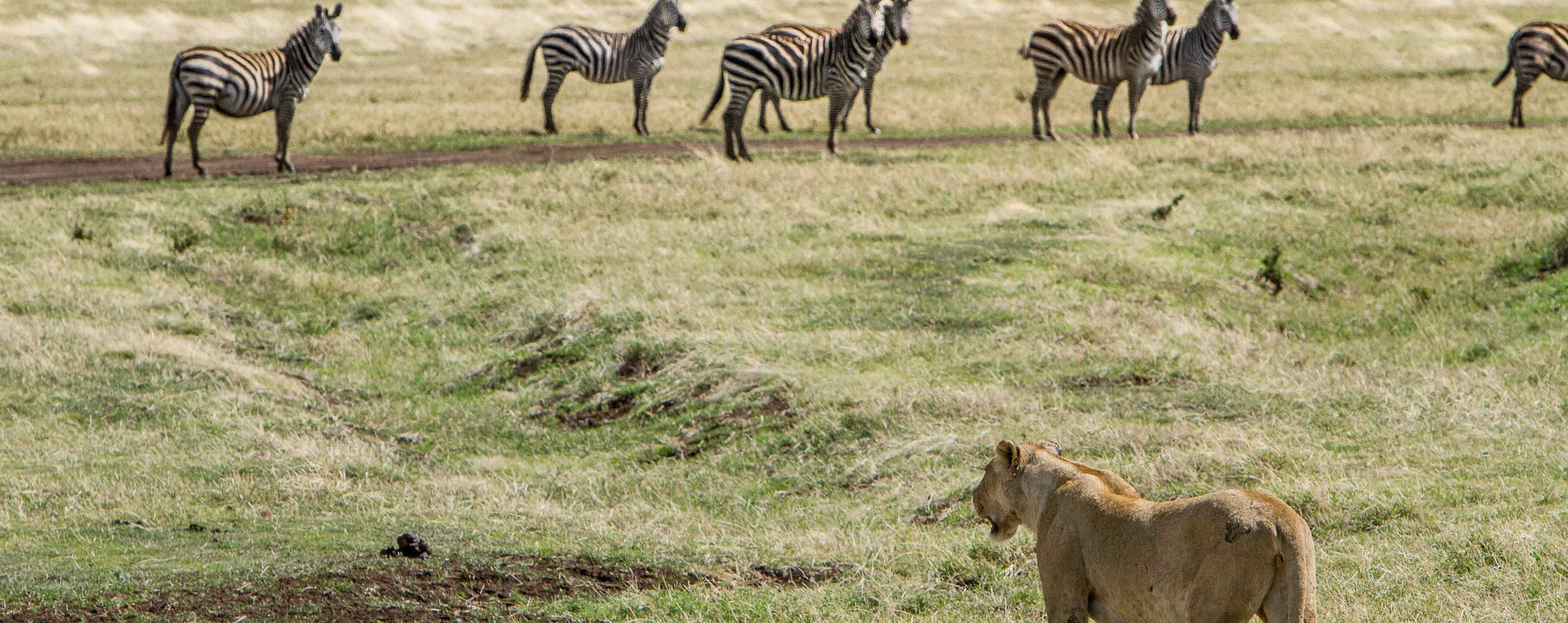 lion looking at a herd of zebras
