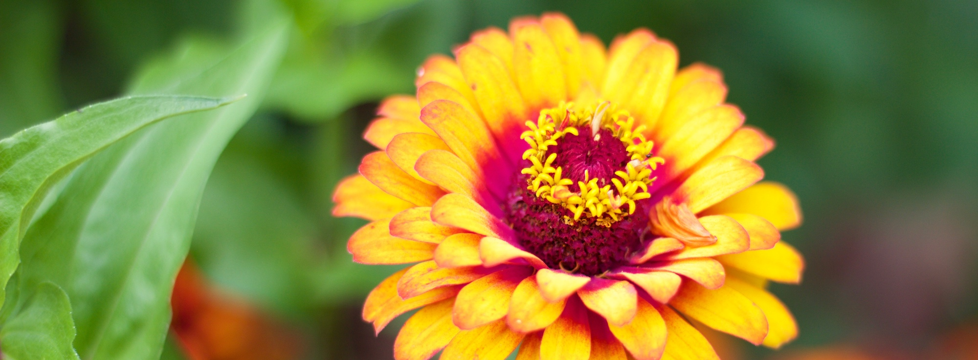 a close up view on an orange zinnia bloom