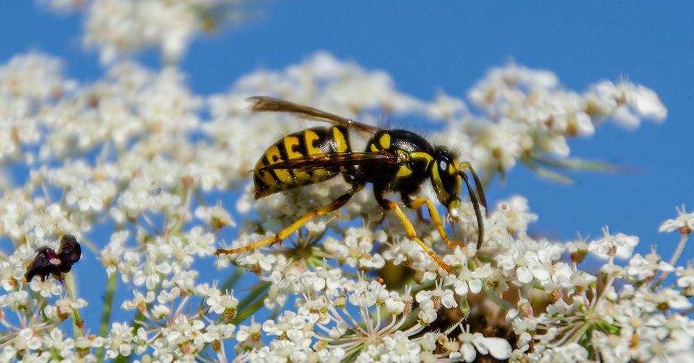 Common Aerial Yellow Jacket Dolichovespula arenaria