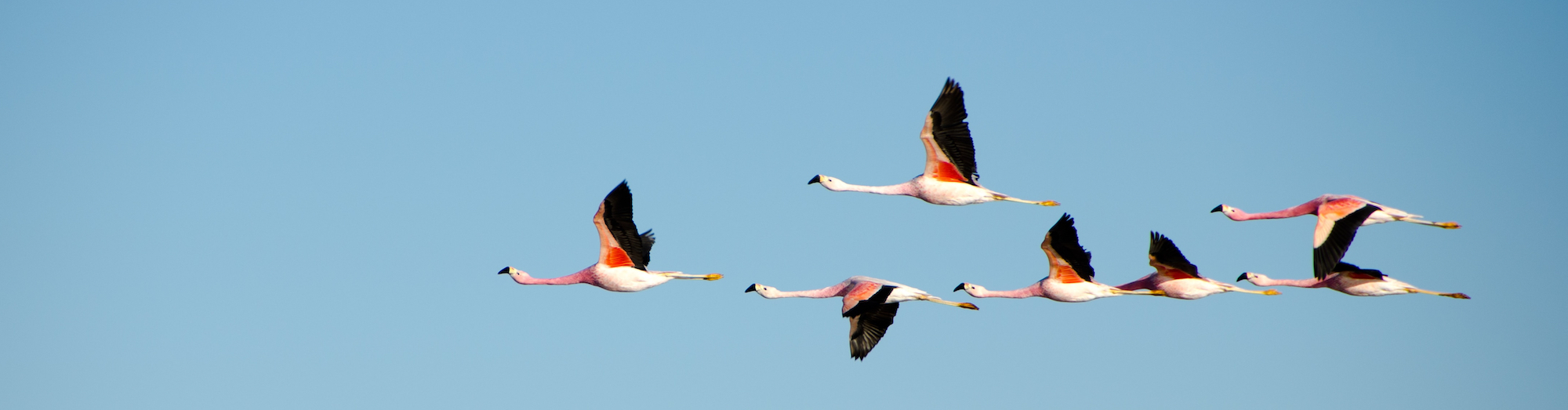 peruvian flamingoes in flight