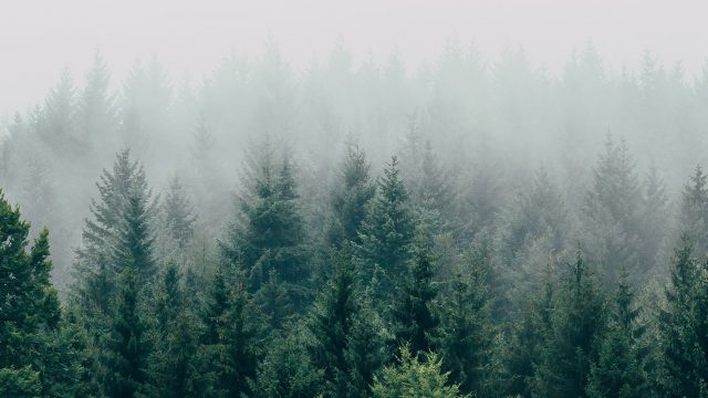 evergreen tree line in foggy sky