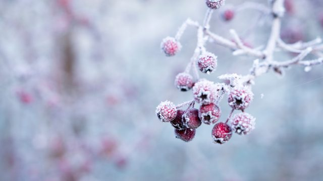 frozen red berries on a tree