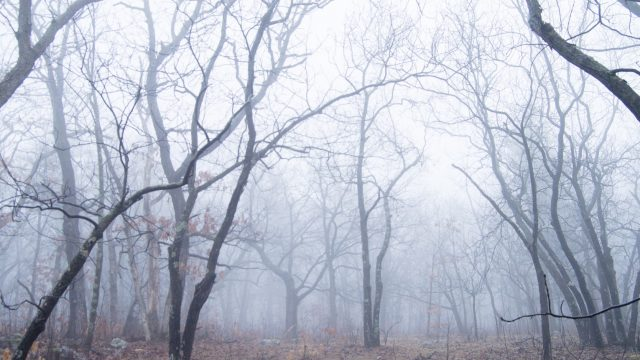 a forest of skinny trees among mist