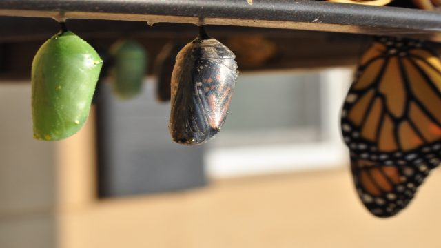monarch butterfly and chrysalis hanging