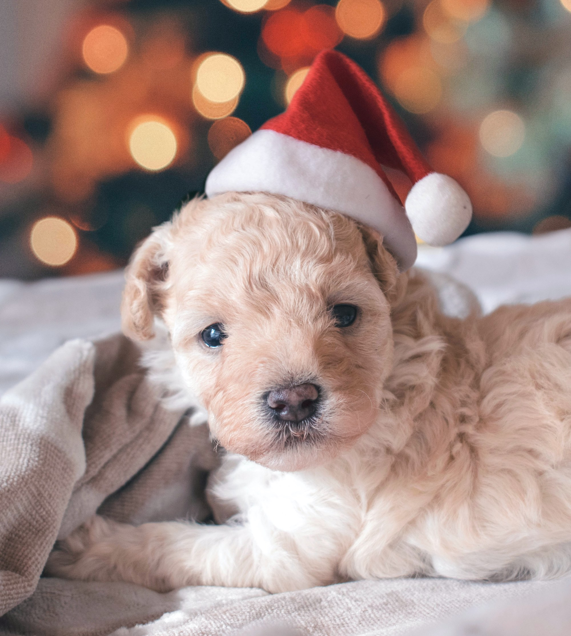 small puppy wearing a santa hat