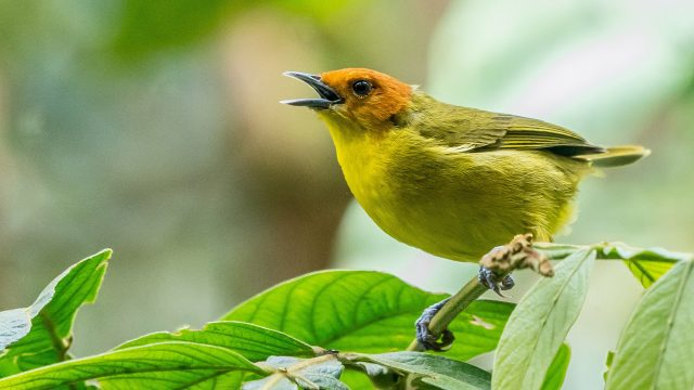 yellow bird on branch singing