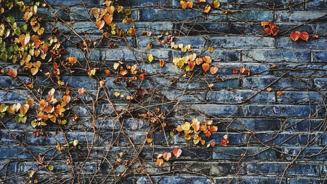 brick wall with yellow ivy growing
