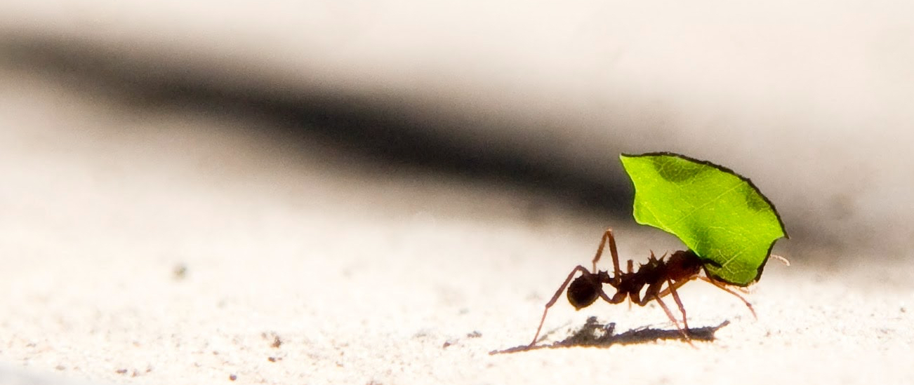 ant holding a piece of leaf