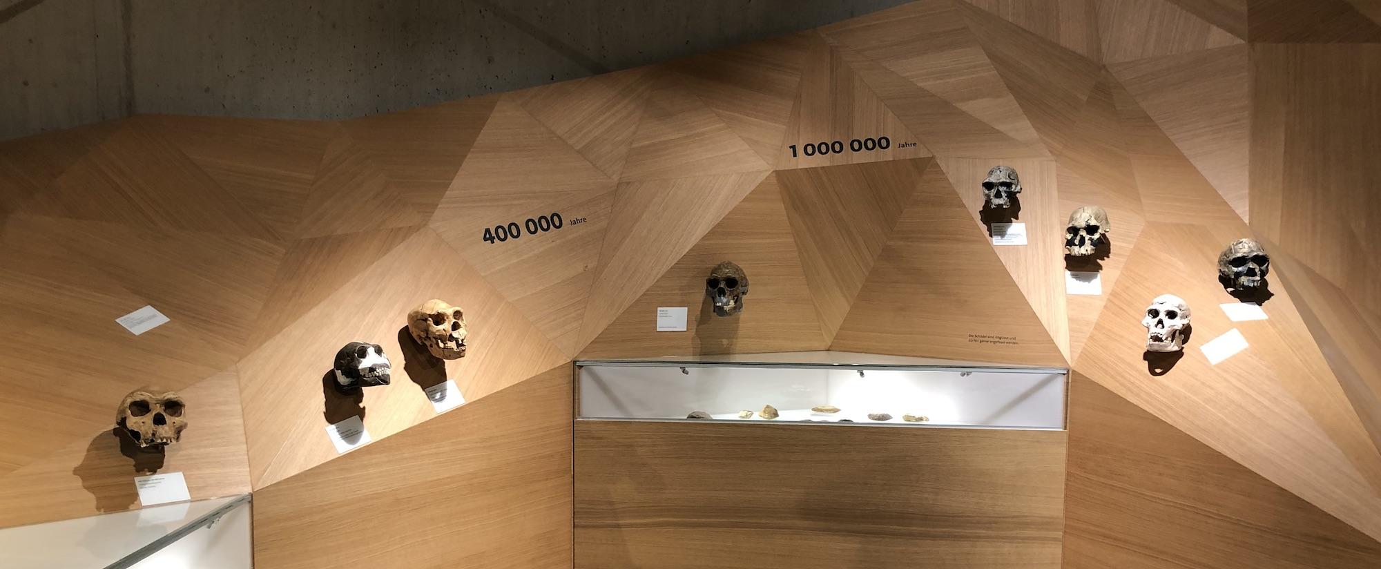 skulls at the Neanderthal Museum