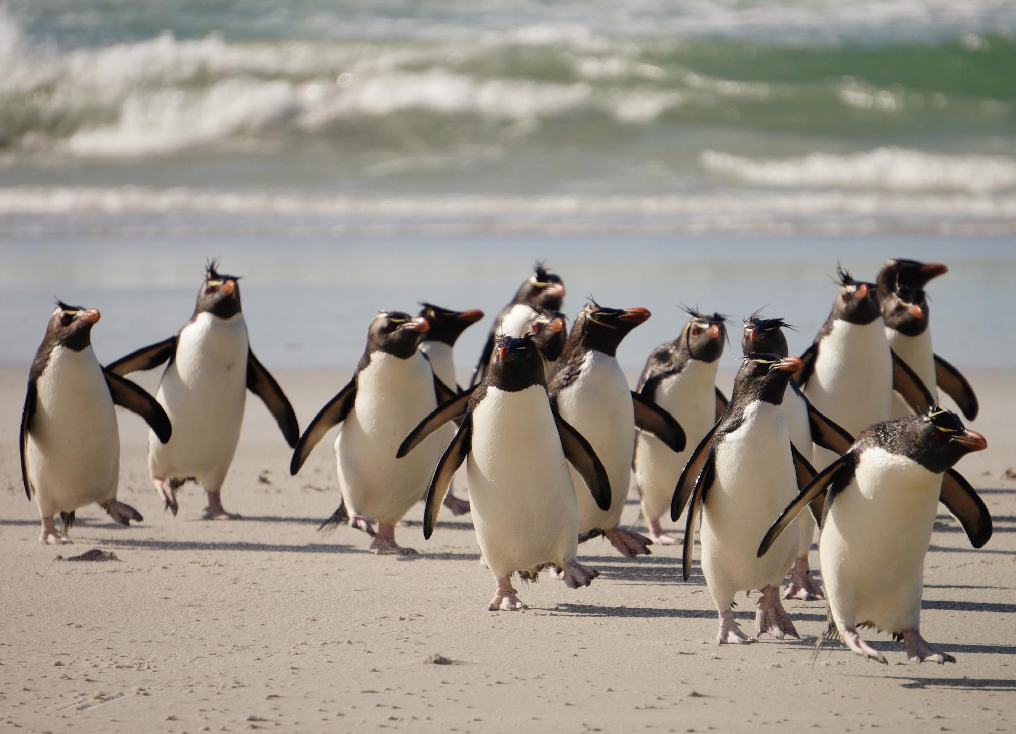 rockhopper penguins on the beach