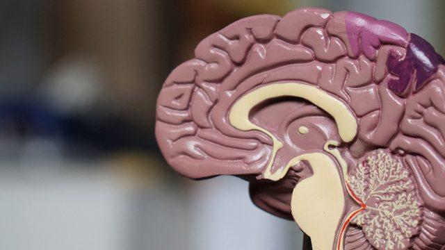 scientific model of a brain